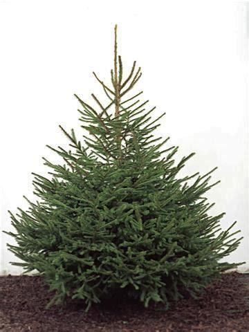 norway spruce xmas trees freshly cut scottish christmas trees