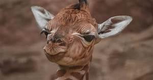 A giraffe was born, but not the one we've all been waiting for  Giraffe