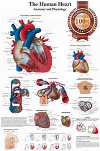 New Human Heart Medical Diagram Chart Informational