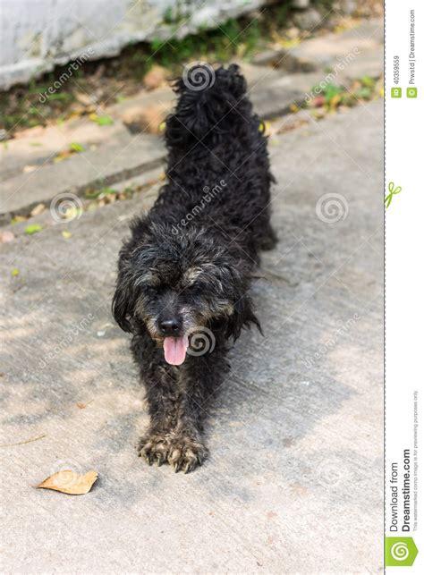 black shaggy dog poodle mongrel stock photo image