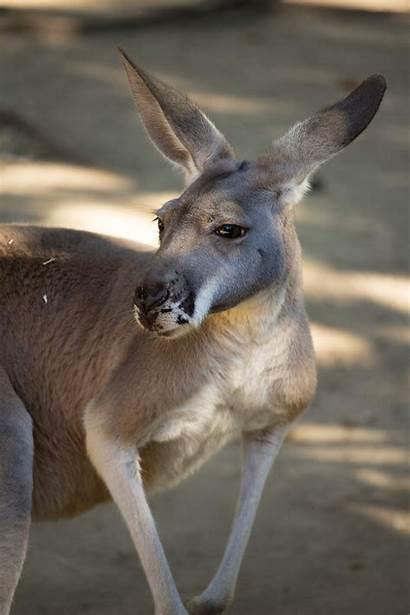 Kangaroo Hopping Happy Zoo Legs Hop Animals