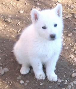 White German Shepherd | Dogs | Pinterest
