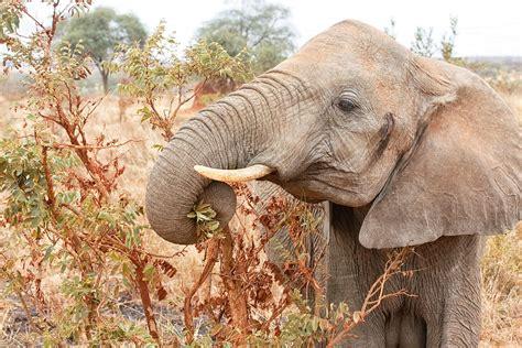 african elephants diet wikipedia diet plan