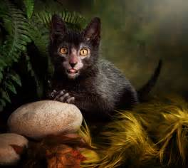 lykoi cat cats what s the deal with these small felines