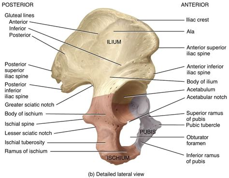 Pubic Bone Diagram by Anatomy Anatomy 332 With Zhang At