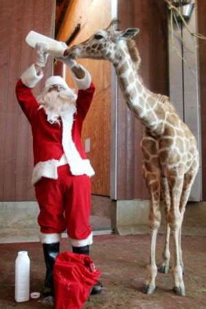 christmas giraffe world news heraldextracom