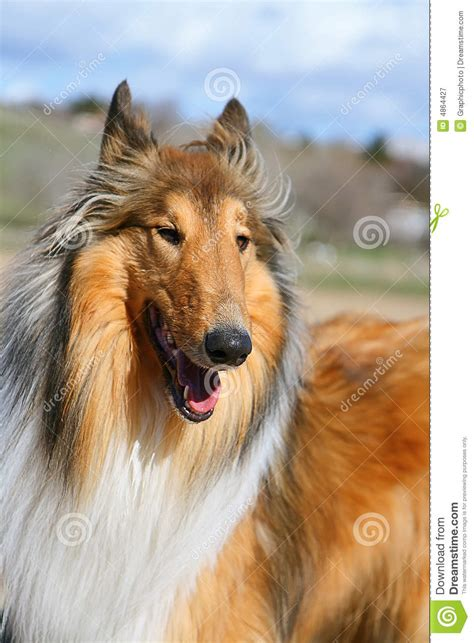 lassie dog royalty  stock photography image