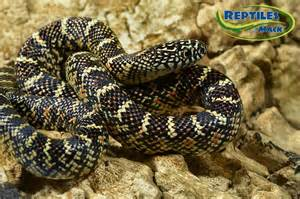 Brooks King Snake