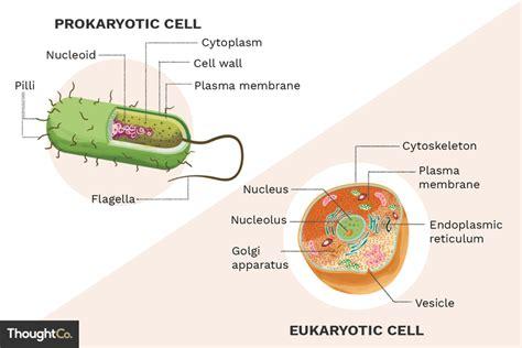 differences  prokaryotes  eukaryotes
