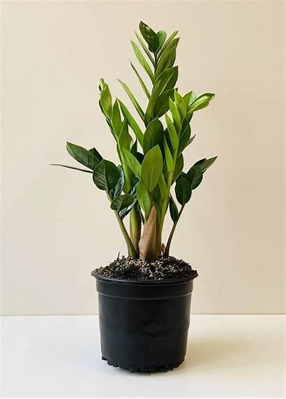 Zanzibar Gem Zamioculcas Zamiifolia Plant Indoor Pot