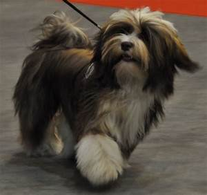 Havanese Dog Coat Colors - Dog Breed
