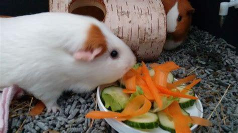 My Guinea Pigs Eating Their Birthday Cake Aww