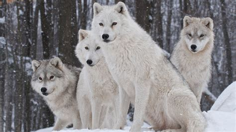 Normally, only the alpha male and female arctic wolves breed, however, in large packs others may mate as well. White Wolves | Wolf dog, Arctic wolf, White wolf