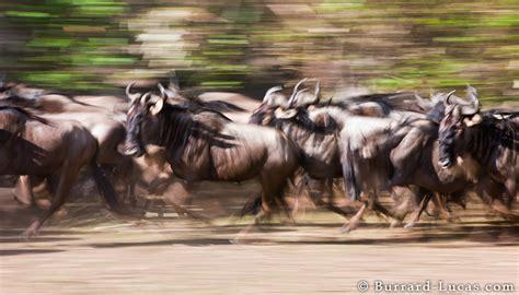 wildebeest stampede burrard lucas photography