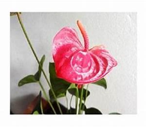 Anthurie Im Wasser : 2 flamingoblumen wei anthurien 80cm k nstliche pflanzen kunstblumen anthurie kunstblumen ~ Yasmunasinghe.com Haus und Dekorationen