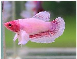Live Betta Fish PINK DUMBO BIG EAR FEMALE! Adorably ...