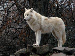 Tundra Animals Tundra Wolf Facts Adaptations Pictures