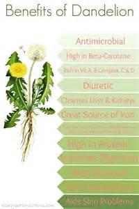 Dandelion Root Tea Health Benefits