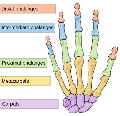 File Scheme Human Hand Bones Svg Wikipedia