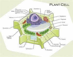 Plant and Animal Cell Diagram - Plant and Animal cells