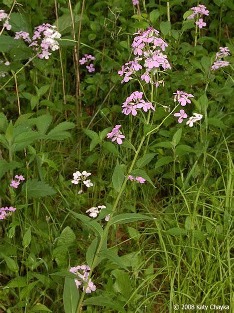 hesperis matronalis dames rocket minnesota wildflowers