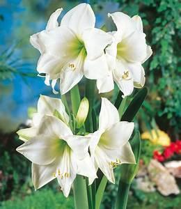 Amaryllis Im Glas : amaryllis im glas 39 wei e intokazi 39 bl hende zimmerpflanzen bei baldur garten ~ Eleganceandgraceweddings.com Haus und Dekorationen