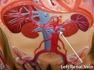 Left Renal Vein