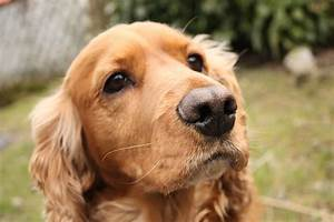 English Cocker Spaniel Pictures | Wallpapers9