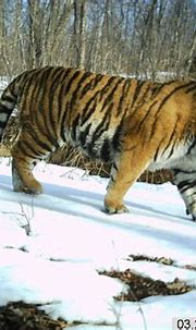 Rare predators caught on film - China.org.cn