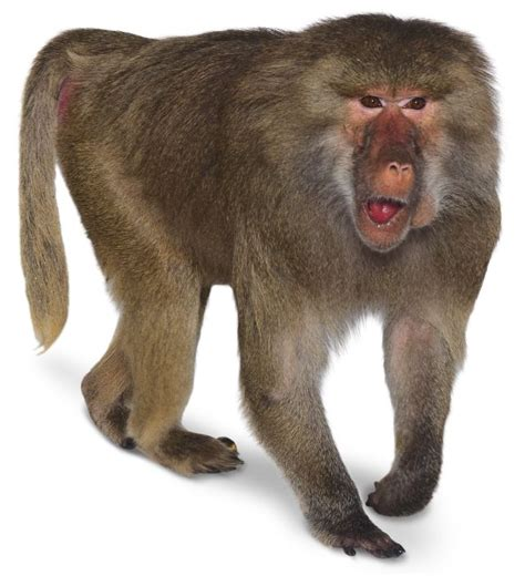 Old World Monkeys  What Are Old World Monkeys  Dk Find Out