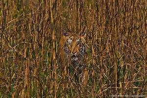 An Impressively Camouflaged Tiger Walking Through Tall Gra