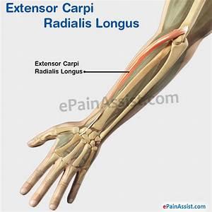 Extensor Carpi Radialis Longus|Structure|Function|Pain