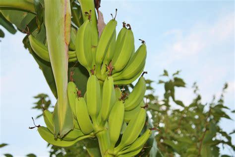banana trees spring planting banana trees sand and sisal
