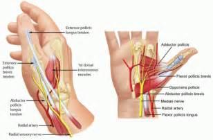 MCP Thumb Joint Anatomy