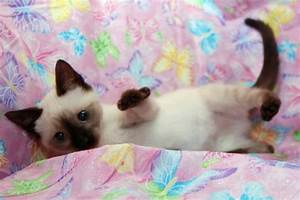 Sydney the Chocolate Point Siamese Kitten's Web Page