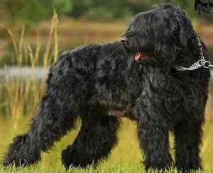 russian black terrier breeders breed clubs  rescue