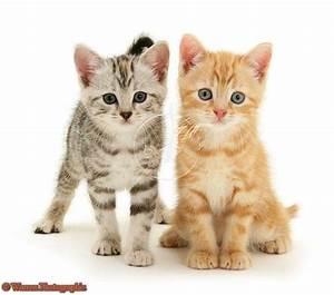 British shorthair kittens. Red tabby cat. Ginger tabby cat ...
