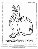 Hare Arctic Snowshoe Clipart Clip Coloring Printable Cliparts Line Library sketch template