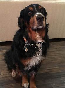 Bernese Mountain Dog Golden Retriever Mix Dog For Adoption ...