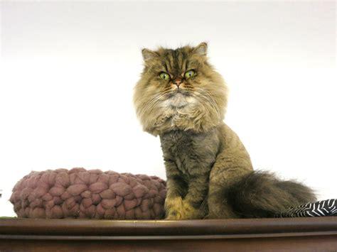 st lion cut   persian cats meow lifestyle
