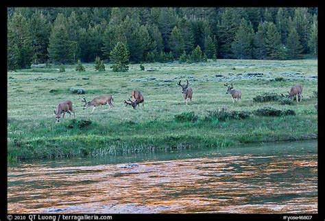 Picturephoto Herd Of Deer In Meadow Lyell Fork Of The