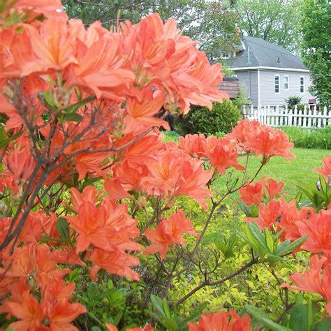 orange azalea japanese evergreen shrub hardy garden