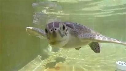 Turtles Sea Eat Gopro Trying