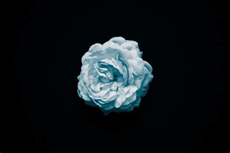 imagen de fondo de pantalla flor celeste foto gratis