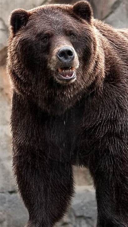 Bears Bear Grizzly Iphone Animal Smiling Wallpapertag