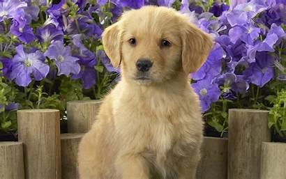 Puppy Golden Retriever Dog Puppies Brown Dogs