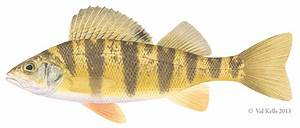 """Wild Thing: Q&A with the authors of """"Field Guide to Fishes ...  Perch"""
