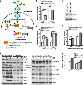 Therapeutic Targeting Of Brca1 And Tp53 Mutant Breast
