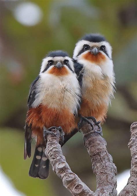 collared falconet microhierax caerulescens sheau