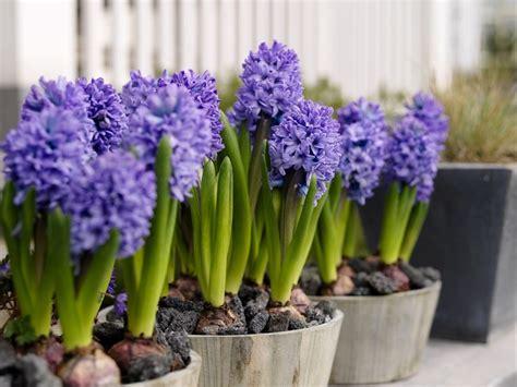 Bulbi Tulipani Quando Piantarli by Piantare Bulbi Bulbi Come Piantare I Bulbi Da Fiore
